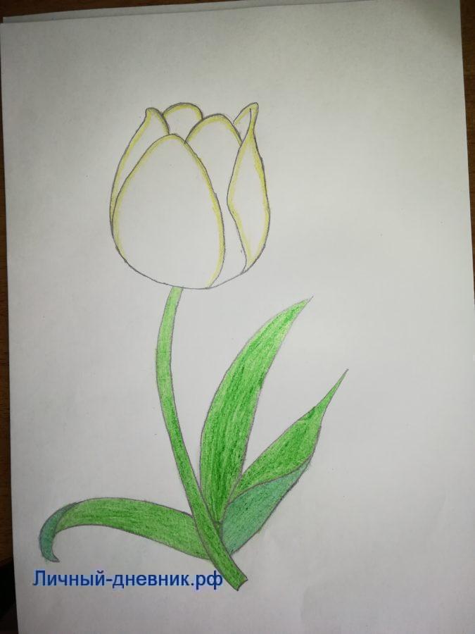 Как нарисовать тюльпан поэтапно карандашом