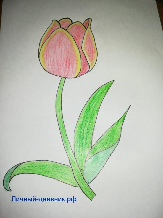 Как нарисовать тюльпан поэтапно карандашом 2